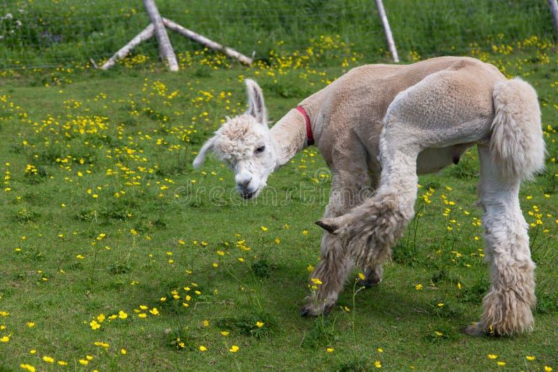 Recentemente alpaca fêmea bege tosquiado engraçada que gerencie com a expressão surpreendida ao levantar seu pé traseiro foto de stock royalty free