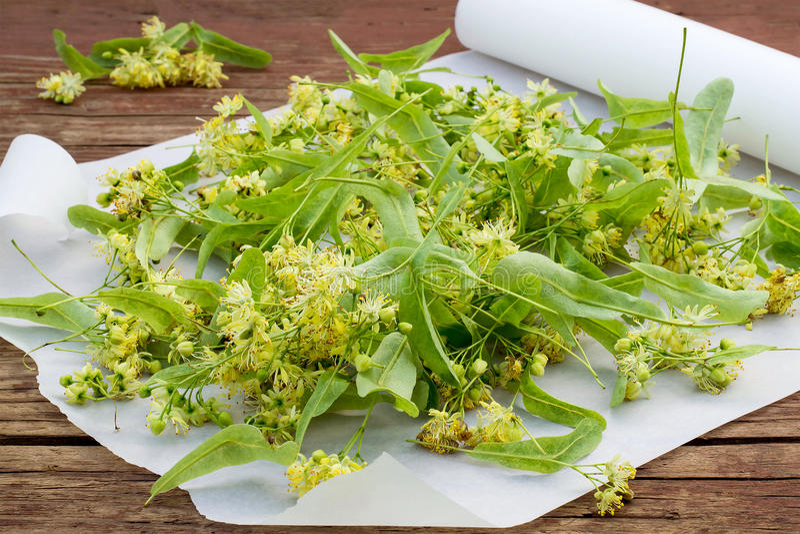 Recentemente flores do Linden para a secagem e o fitoterapia imagem de stock royalty free