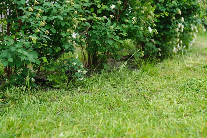 Recentemente gramado da mola do corte e arbustos de florescência Spiraea, foto do fundo do sumário da mola imagens de stock