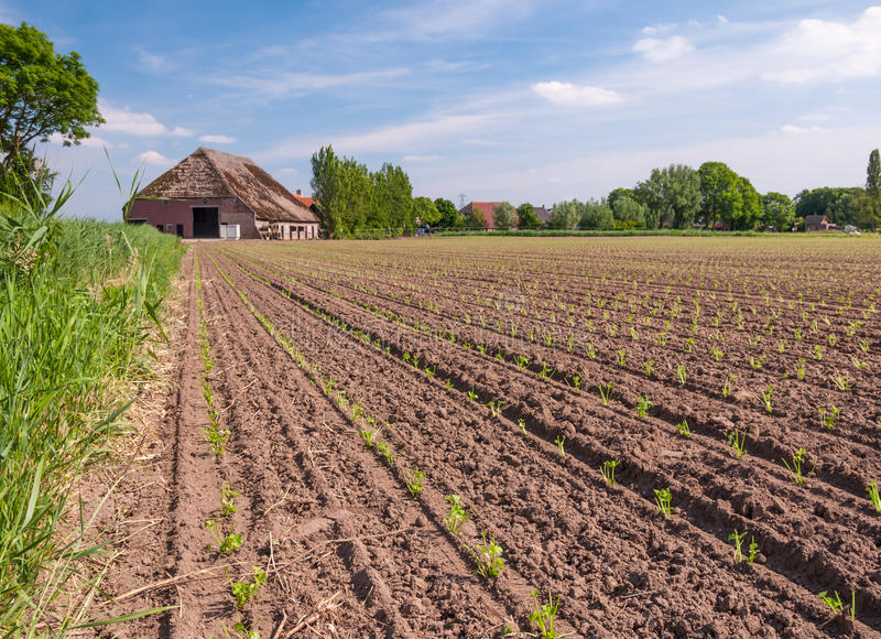 Download Recently Planted Celeriac Plants In Rows Stock Image - Image of field, celery: 25286213