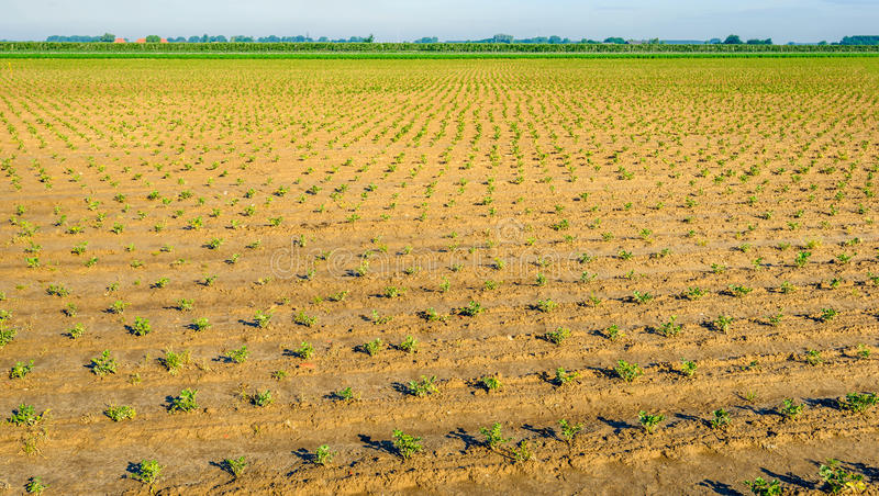 Recently planted celery plants in rows. Lines with recently planted leaf celery plants on the field of a specialized vegetable nursery in the Netherlands on a stock image