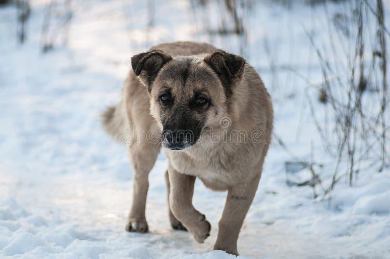 Recherche d'un bon propriétaire de chien dans la forêt d'hiver photos stock