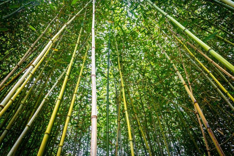 Recherche dans une for?t en bambou images stock