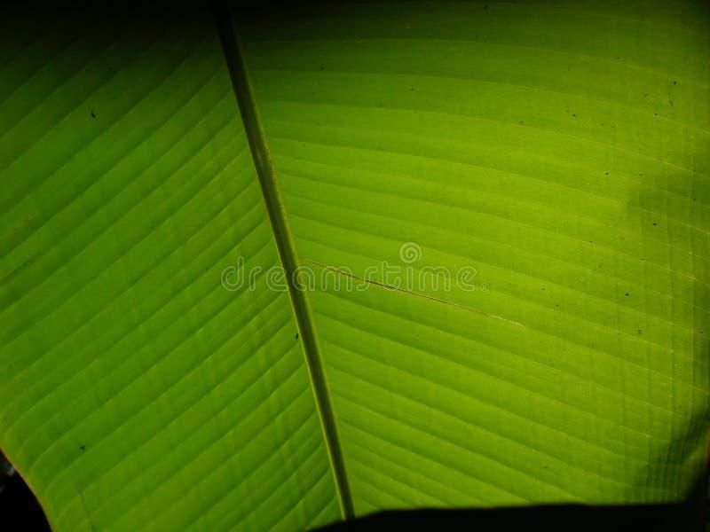 Recherche de la vue sous le bananier photo libre de droits