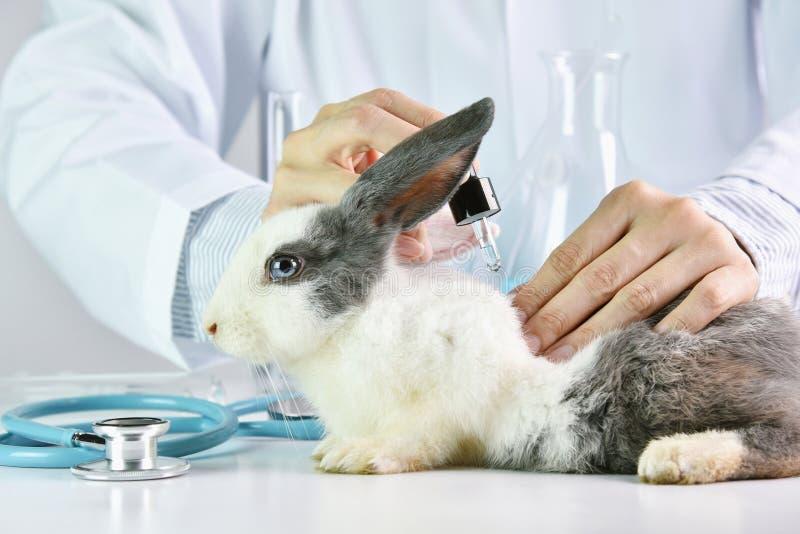 Recherche de médecine, drogue d'essai de scientifique chez l'animal de lapin image stock