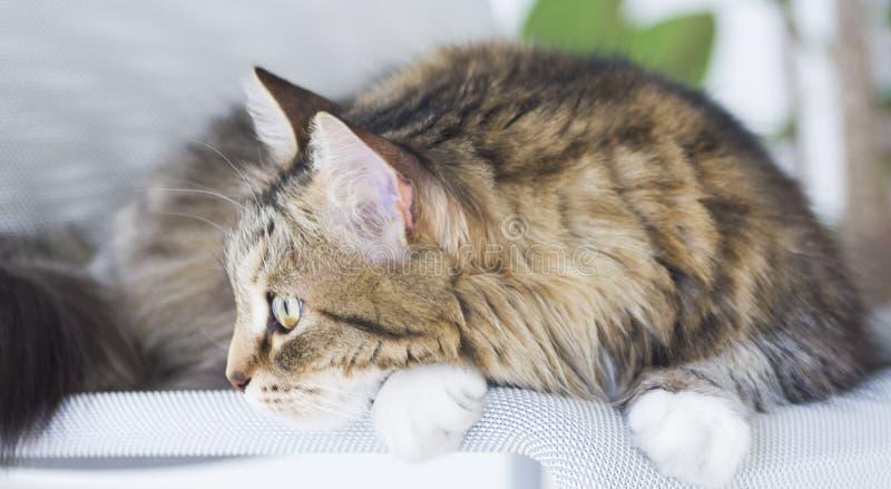 Recht braune Katze der sibirischen Zucht im Garten, katzenartiges Gesicht lizenzfreie stockbilder
