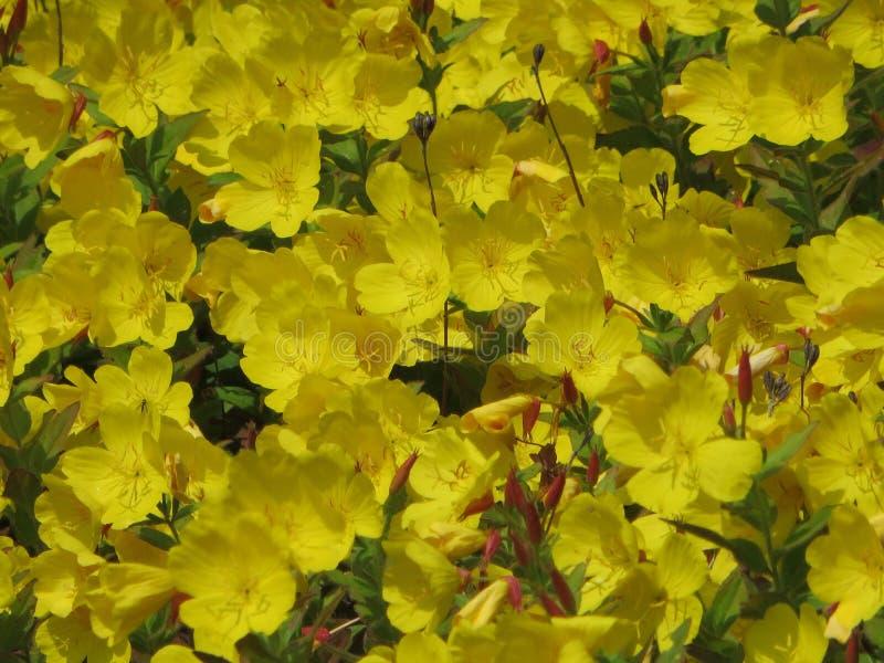 Recht gelbe Blumen stockfoto