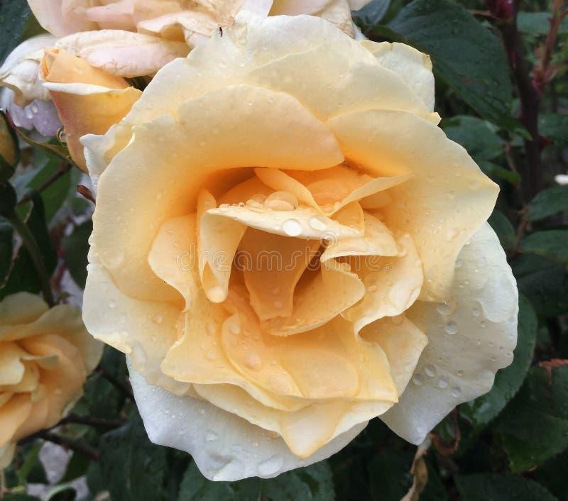 Recht gelbe und weiße Rose stockbild