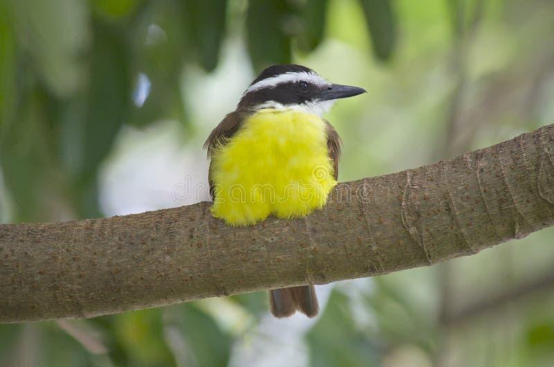 Recht gelber Vogel lizenzfreies stockbild
