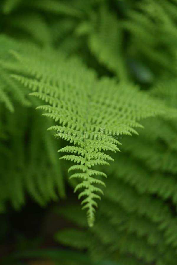 Recht grüne Dame Ferns Growing im wilden stockfotos