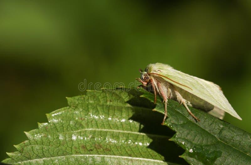 Recht grüne Silber-Linien Motte Pseudoips-prasinana, das auf einem Blatt hockt stockfotografie
