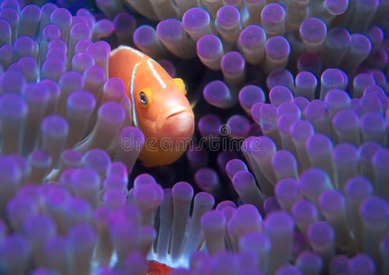 Download Recht im Purpur stockfoto. Bild von purpurrot, anemone, unterwasser - 27500