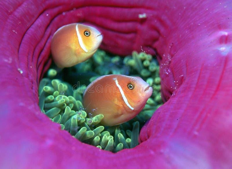 Download Recht im Rosa stockbild. Bild von leben, makro, anemonen - 27499