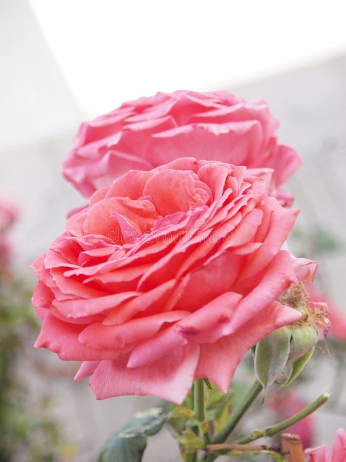 Recht im Rosa stockbilder