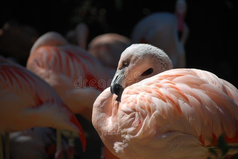 Recht im rosa Flamingo stockbilder