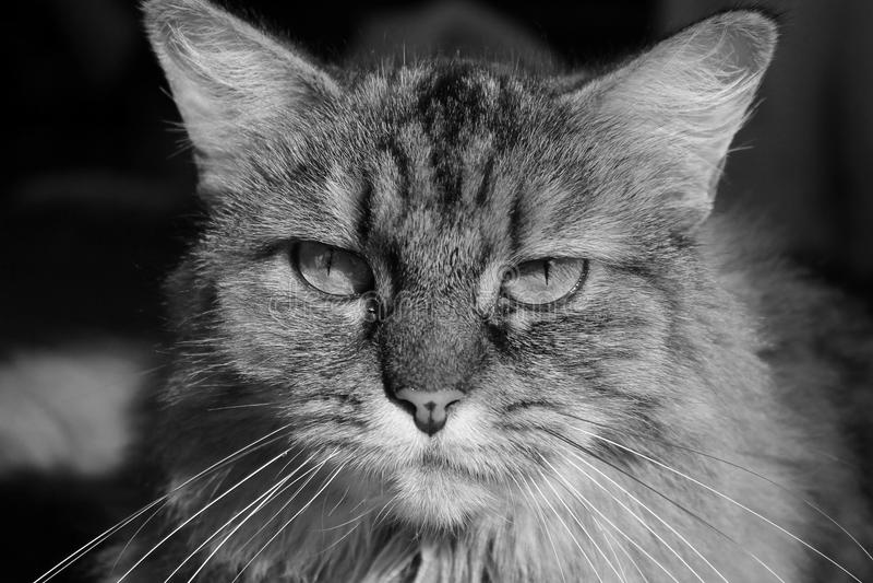 Recht nah oben auf langhaariger Mädchenkatze lizenzfreie stockbilder