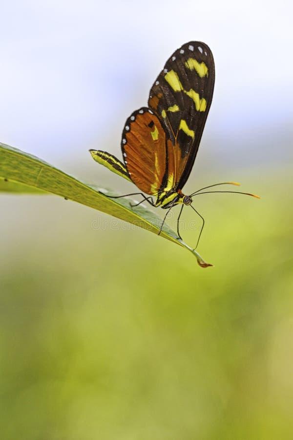 Recht orange und schwarzer Schmetterling, der auf Anlage stillsteht stockfotos