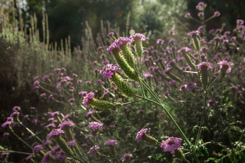 Recht purpurrote Wildflowers in einer grünen Wiese mit selektivem Fokus und unscharfem Hintergrund lizenzfreie stockfotografie