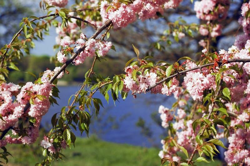 Recht rosafarbene Blumen lizenzfreies stockfoto