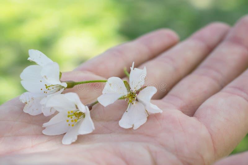Rechte Hand, die Kirschblüten hält stockfotos
