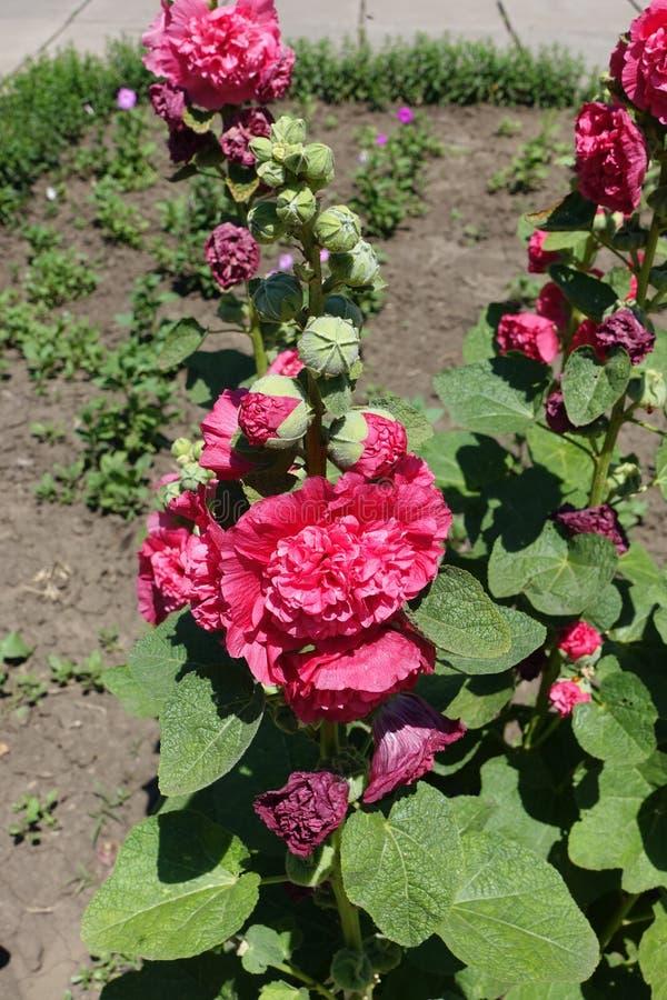 Rechte stammen van stokroos met dubbele rode bloemen stock foto