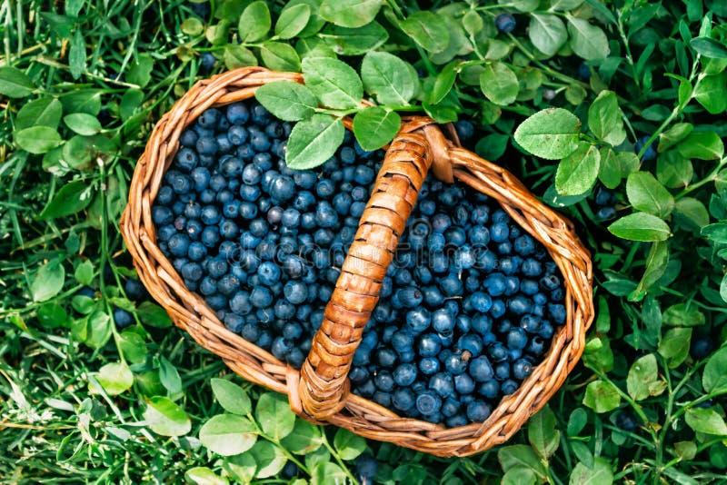 Rechteckiger Korb mit wilden Beerenblaubeeren steht auf Grün stockfotografie