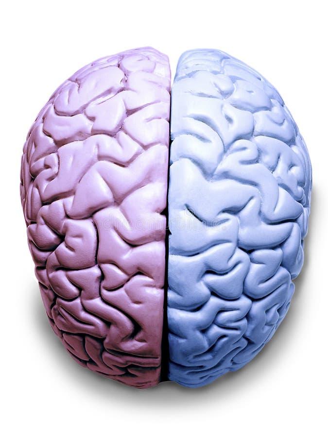 Rechtes und linkes Gehirn stockfotos