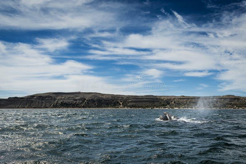 Rechtes Wale in Valdes-Halbinsel lizenzfreies stockfoto