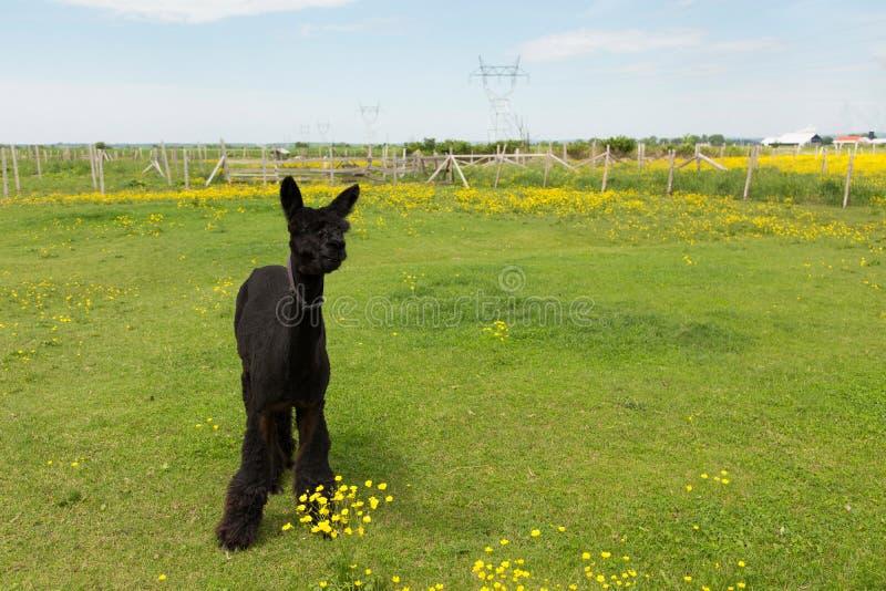 Recientemente alpaca negra rapada linda que se coloca que masca la hierba en recinto cercado imagen de archivo