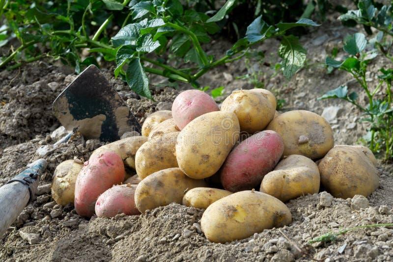 Recientemente desenterrado montón de las patatas rojas y amarillas que mienten en nex del suelo imagen de archivo libre de regalías