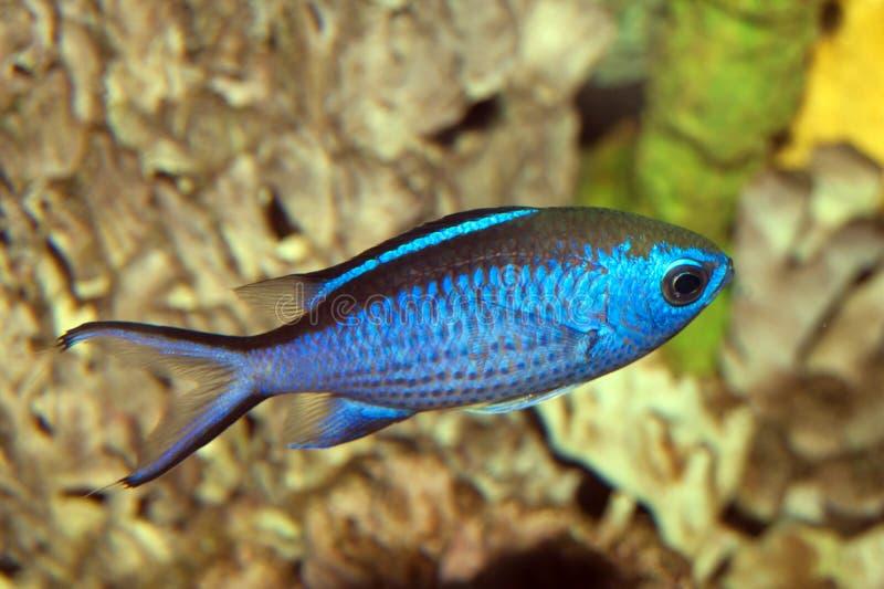 Recife azul Chromis (cyaneus de Chromis) fotografia de stock