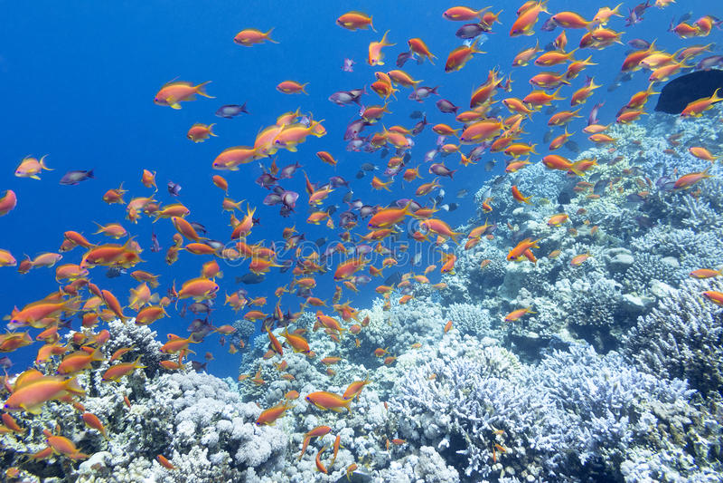 Recife de corais colorido com o banco de areia de anthias dos peixes no mar tropical imagens de stock royalty free