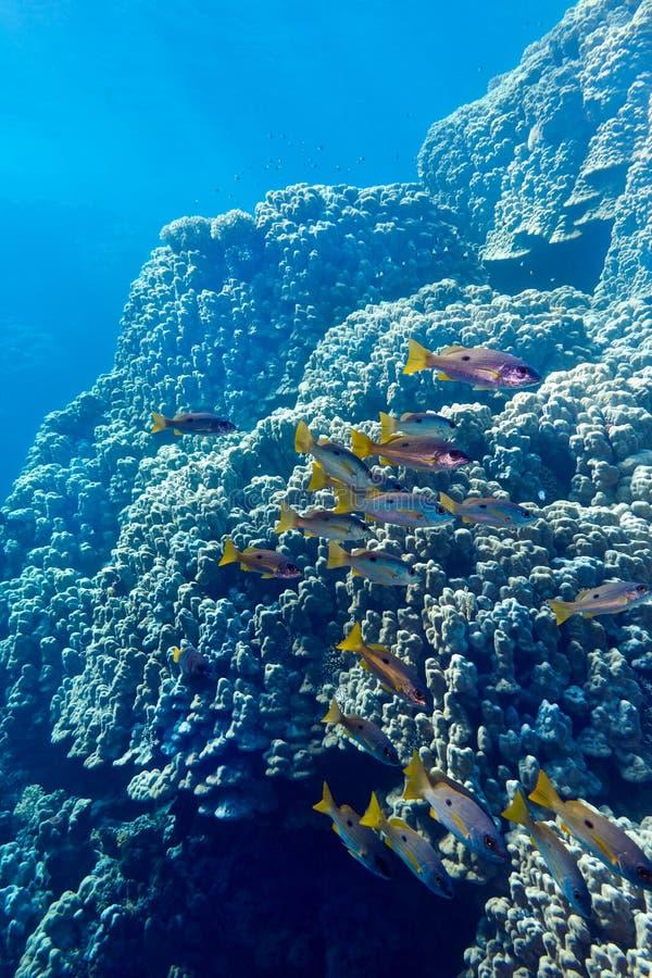 Recife de corais com corais e salmonetes dos porites na parte inferior do mar tropical fotos de stock royalty free