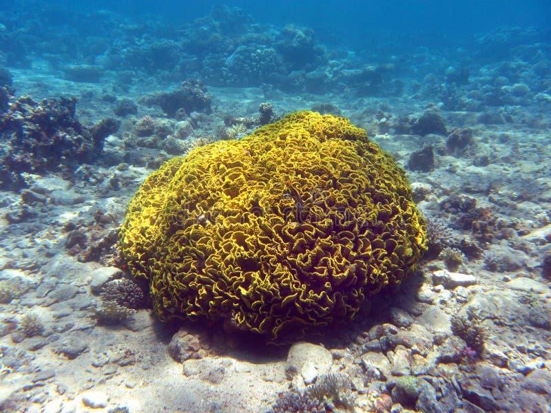 Recife de corais com o mesenterina coral duro do turbinaria, subaquático foto de stock
