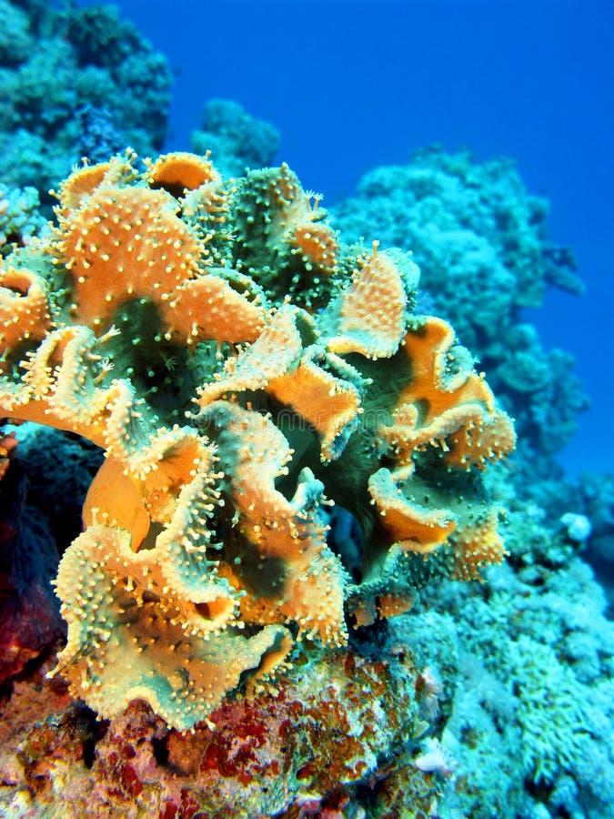 Recife de corais com sarcophyton coral no mar tropical, subaquático fotografia de stock royalty free