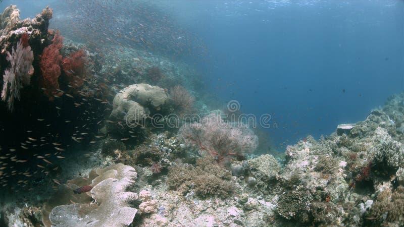 Recife de corais de Raja Ampat Indonesia com os f?s de mar grandes 4k fotos de stock royalty free