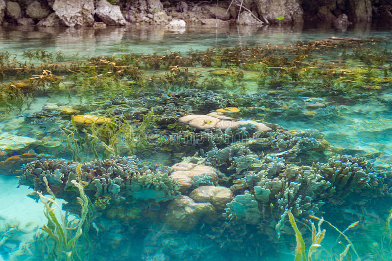 Recife de corais raso na água transparente de turquesa, Indonésia foto de stock