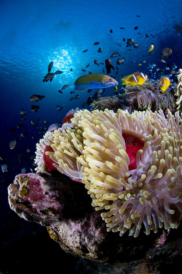 Recife e anemone com peixes, Mar Vermelho, Egipto fotografia de stock