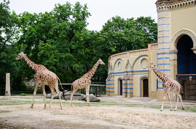 Recinto de la jirafa en el parque zoológico de Berlín imagenes de archivo