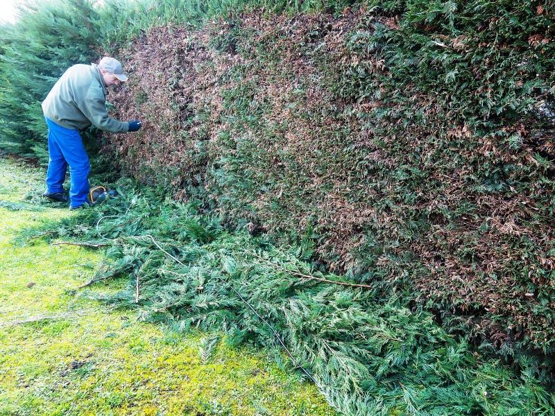 Recinto di giardinaggio di vita di taglio del lavoro del cipresso Leylandia immagine stock libera da diritti