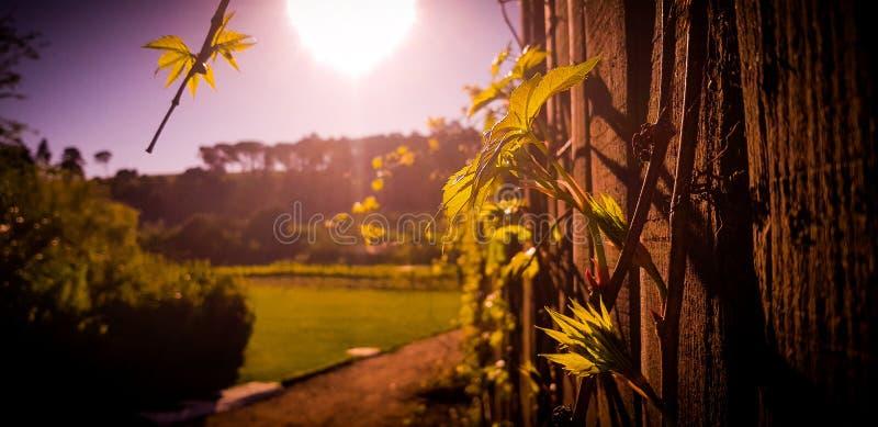 Recinto di legno con le piante sull'azienda agricola del vino fotografia stock