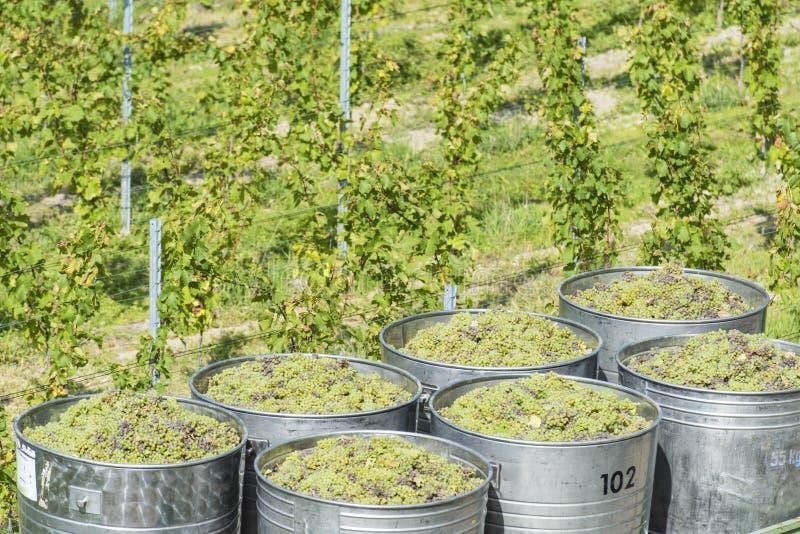 Recipientes completamente das uvas brancas no reboque fotografia de stock royalty free