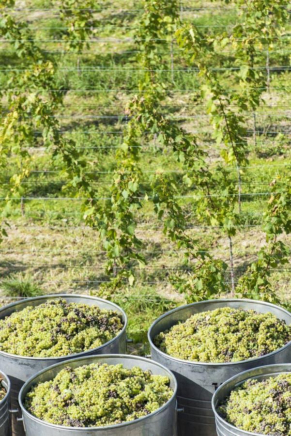 Recipientes completamente das uvas brancas no reboque imagens de stock royalty free