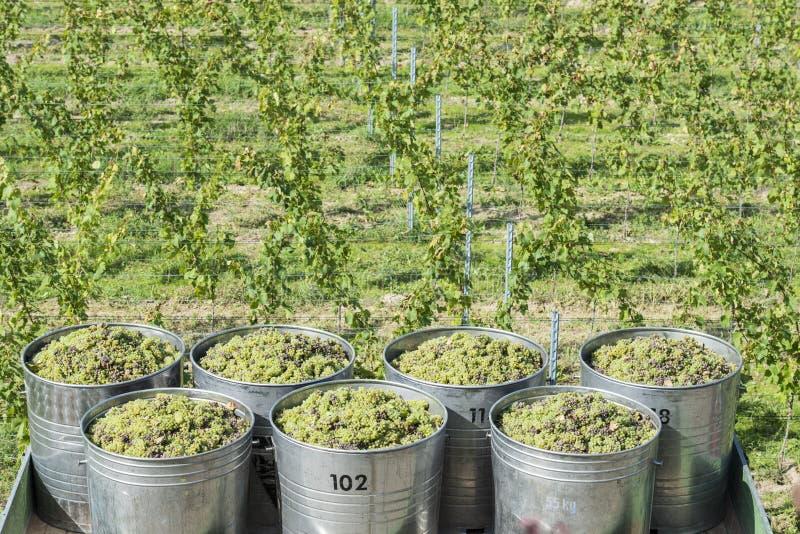 Recipientes completamente das uvas brancas no reboque fotos de stock