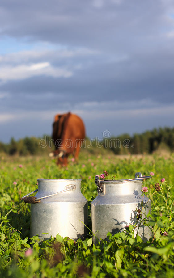 Recipientes e vaca do leite que comem trevos fotos de stock royalty free