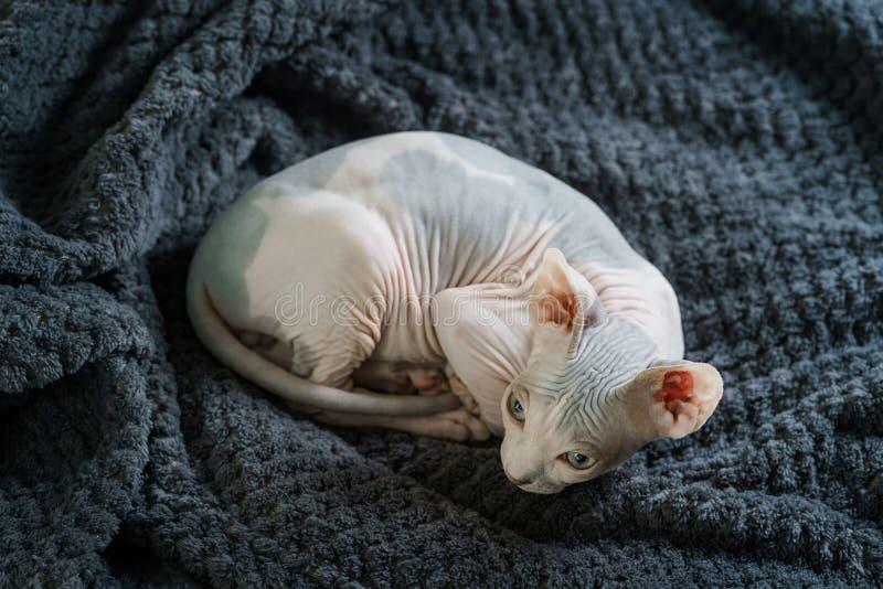 Reclinación adorable del gatito de Sphynx foto de archivo