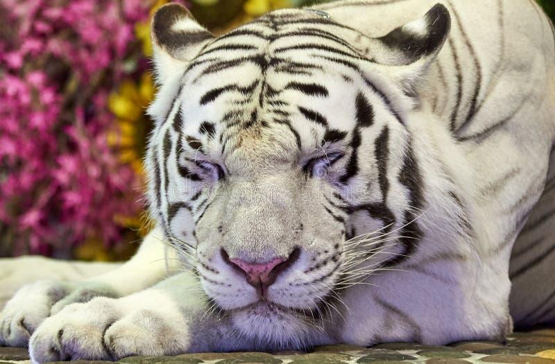 Reclinación blanca del tigre fotografía de archivo libre de regalías