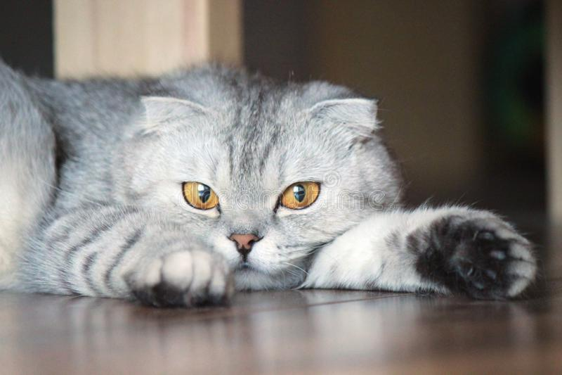 Reclinación de Cat Alice imagen de archivo libre de regalías
