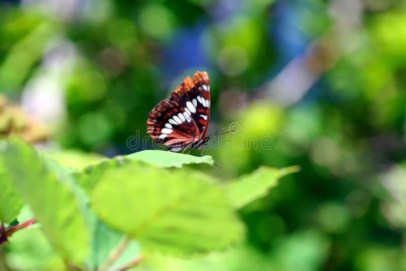Reclinación de la mariposa foto de archivo libre de regalías