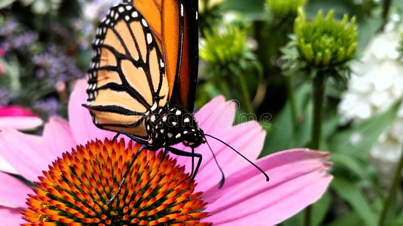 Reclinación de la mariposa imagen de archivo